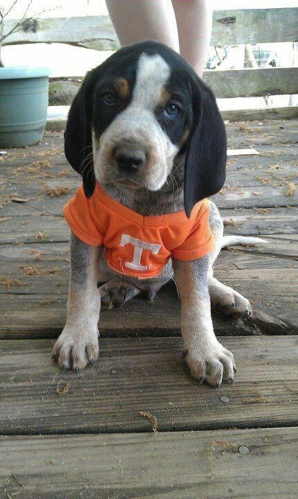 dawwww look at the puppy!!!! GO VOLS