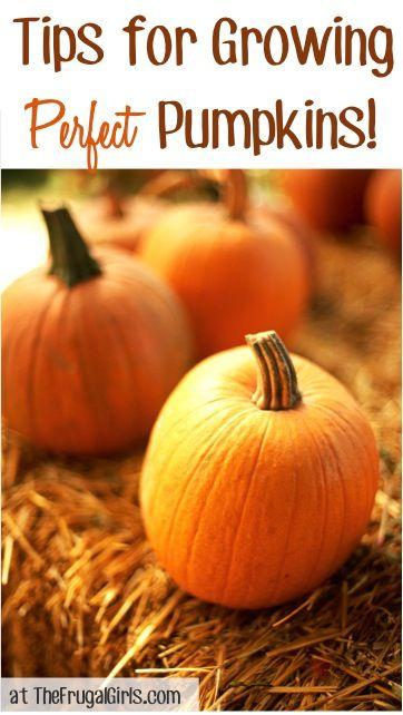 14 Tips for Growing Perfect Pumpkins! ~ from TheFrugalGirls.com #gardening #pumpkins