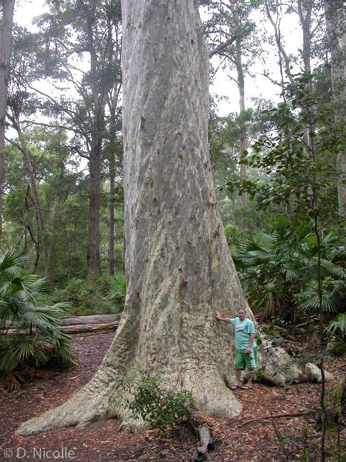 Old Blotchy, Corymbia maculata (spotted gum), Murramarang National Park, near Batemans Bay, New South Wales. Circumference: 10.76 metres. Height: 58.5 metres.