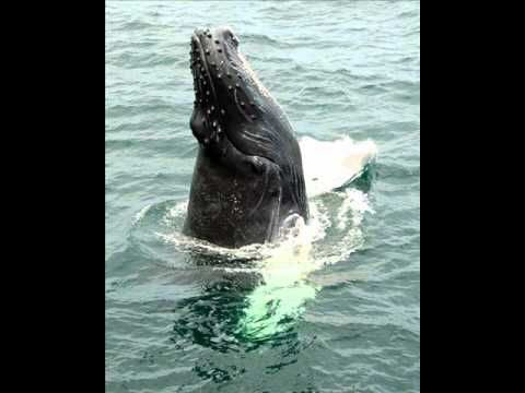 Country Joe McDonald - Save the Whales - YouTube: The Title Says it All!! using a nice salty song