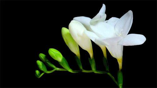 Flores desabrochando, em gifs