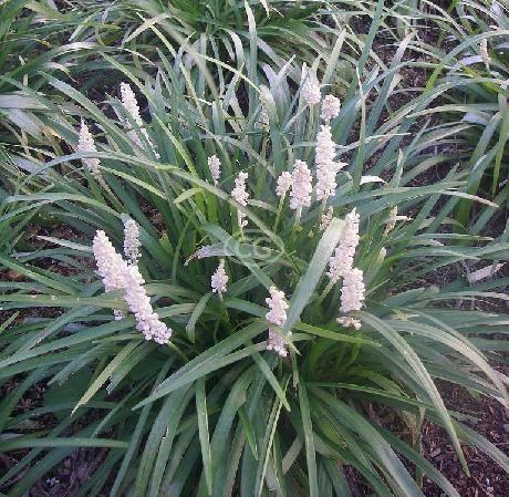 "Liriope muscari 'Monroe White' - sun/shade, dark green 3/8-1/2"" leaves, white flower spikes late summer to early fall, 12-16"" tall, spacing 10-15""."