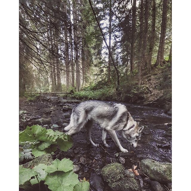 This morning's blast on 13km hike. We took off at 6 am and enjoyed every bit of it..   #travelwithmaya #stayandwander #roamtheplanet #ourcamplife #camping #folkgood #folkvibe #mobilemag #wolfdog #exklusive_shot #czechoslovakian