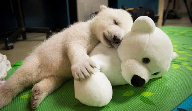 Sleeping beauty🐻 #bearsfamily #Bär #TeddyBear #misiu #テデ #ตุ๊กตาหมี #곰 #クマ #медведь  #медвежата #babybear #babybears #icebear #polar #grisleybear #familyphoto #chịu #bære #menanggung #soportar #ilovebears #kamchatkabears #kamchatkalife #kamchatka #медвежонок #kamchatkablog