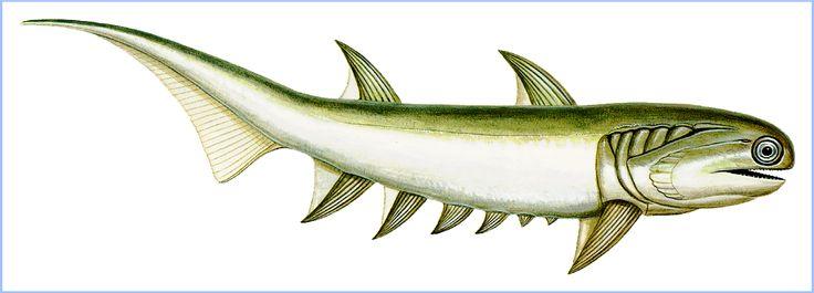 """cordados  Los acantodios (Acanthodii, del griego άκανθα ákantha, """"espina"""" y ειδής eidés, """"con el aspecto de"""", también conocidos como tiburones espinosos, son una clase extinta de peces, cuyas especies tienen características comunes tanto a los peces óseos como a los cartilaginosos."""
