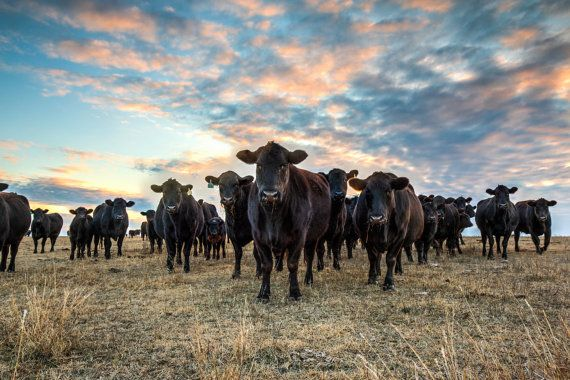 Photo of black Angus cattle waiting for their supper. FREE SHIPPING! Print can be ordered in the following standard sizes:  8 x 12 12 x 18