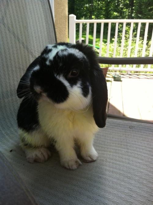 holland lop | Tumblr