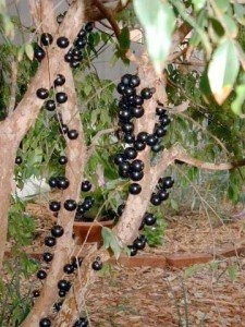 Jabotacaba – Jabotacaba grows in tropical areas such as South America, especially Brazil. The fruit looks very similar to black olives and grows on the branches of the tree, not on stems like typical fruit. Jabotacaba is often used in making jellies, jams, and wine.