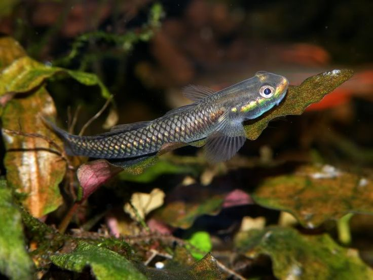 17 best images about goby on pinterest australia punch for Freshwater goby fish