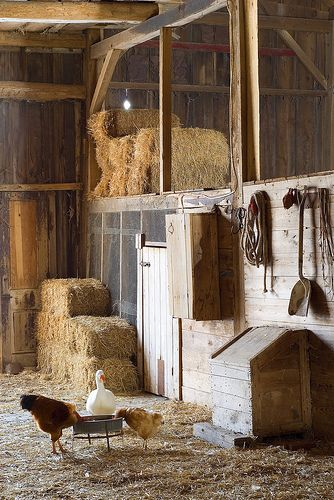 Winter light in our barn | Turkey-Neck, Maudie and Red Girl … | Flickr