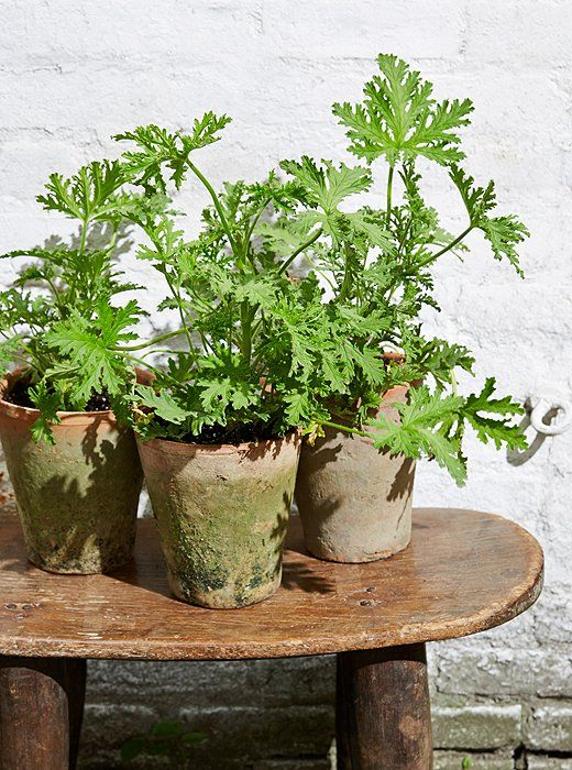 Gardening Ideas: Plants that Repel Mosquitoes, including citronella/lemongrass, catnip, cascading geranium —One Kings Lane