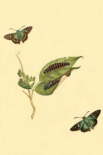 Surinam Butterflies Moths Caterpillars By Jan Sepp 84 Art Print Moth Caterpillar Art Prints Art