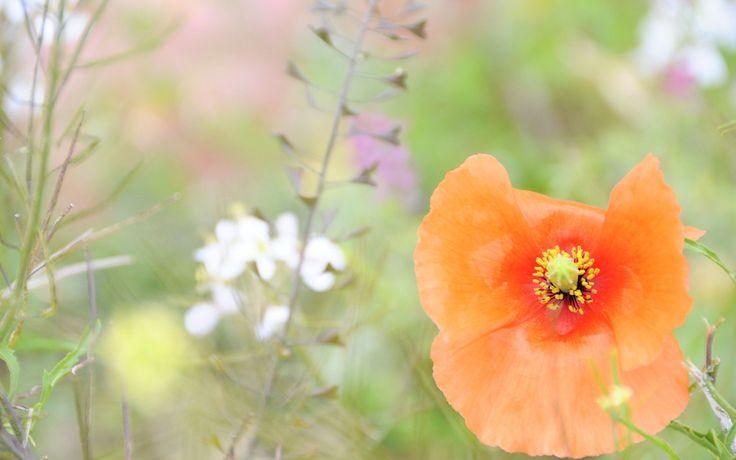 размытость, цветок, трава, нежность, поляна, мак, растения, оранжевый, макро…