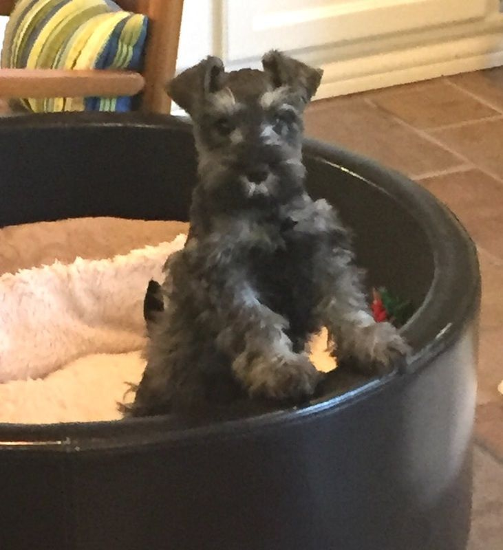 Johnson Farms 777 Miniature Schnauzer Breeder Texas Black Puppies Breeder Texas In 2020 Miniature Schnauzer Miniature Schnauzer Puppies Schnauzer