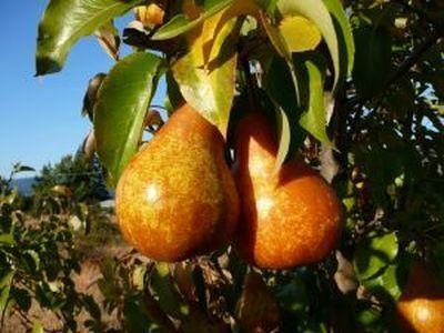Plantarea parului : care sunt cele mai bune soiuri de par?  cum se planteaza si cum se ingrijeste o livada cu peri?