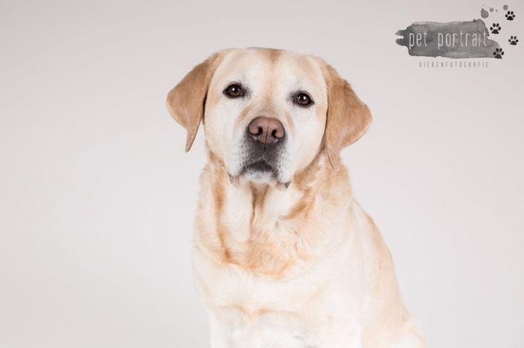 Hondenfotografie Hillegom - Dier en Baasje fotoshoot Labrador Aukje-5