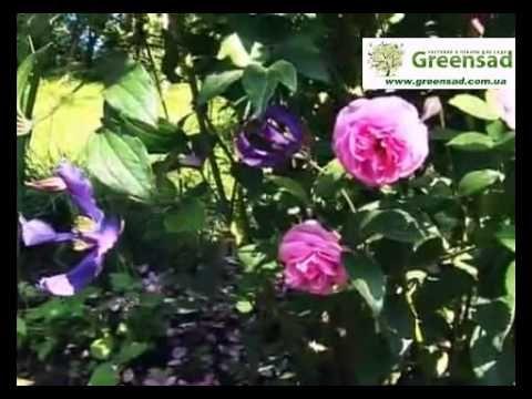 Лучшие соседи роз. Сочетание роз с другими цветами - YouTube