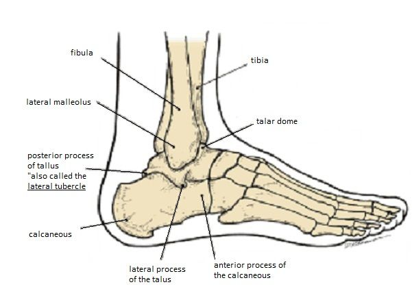 Foot: Lateral View | Human Form | Skeleton anatomy