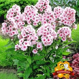 Duft-Phlox 'Rosa',3 Knollen