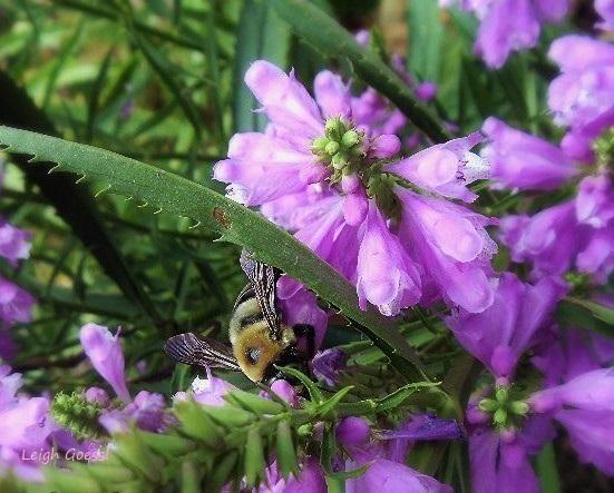 Bee on purple flowers, by Leigh Goessl   #bees #flowerphotography