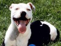 Breed Of This Week : American Pit Bull Terrier