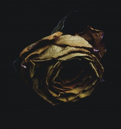 Decaying flower photography by Billy Kidd