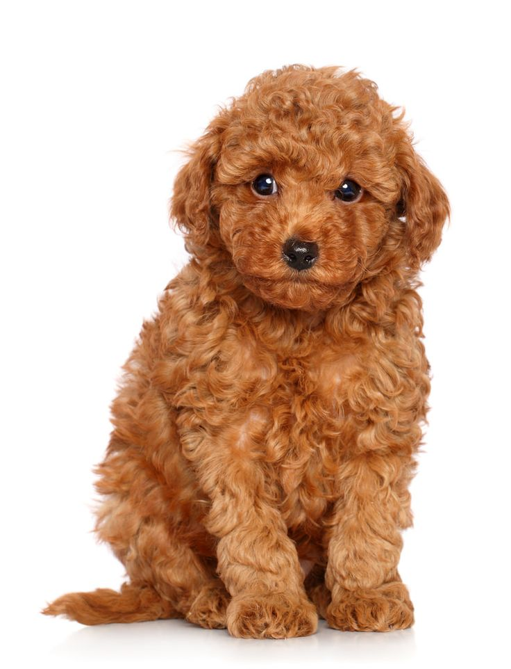 Apricot / red miniature poodle / Cockapoo puppy