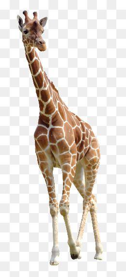 Giraffe Png And Clipart Giraffe Cartoon Wallpaper Hd Funny Giraffe