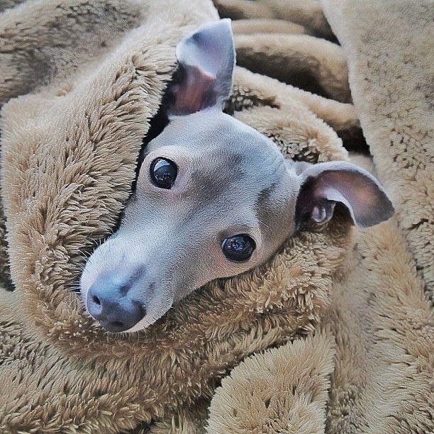 ~ Italian Greyhound Love ~