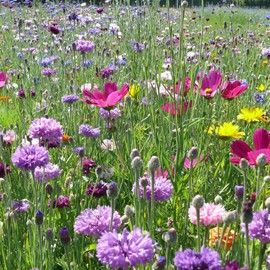 jach re fleurie courte prairies fleuries pour jardin nature pinterest fleuri prairie et. Black Bedroom Furniture Sets. Home Design Ideas