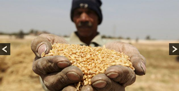 mısır buğday hasadı. #egypt  #wheat  #farmer