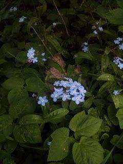 Mein wundervoller Garten - Das Wald-Vergissmeinnicht gehört im Garten zu den schönsten früh blühenden Blumen. Mit seinen kleinen blau leuchtenden Blüten zeigt es sich gerne an sonnigen Plätzen...