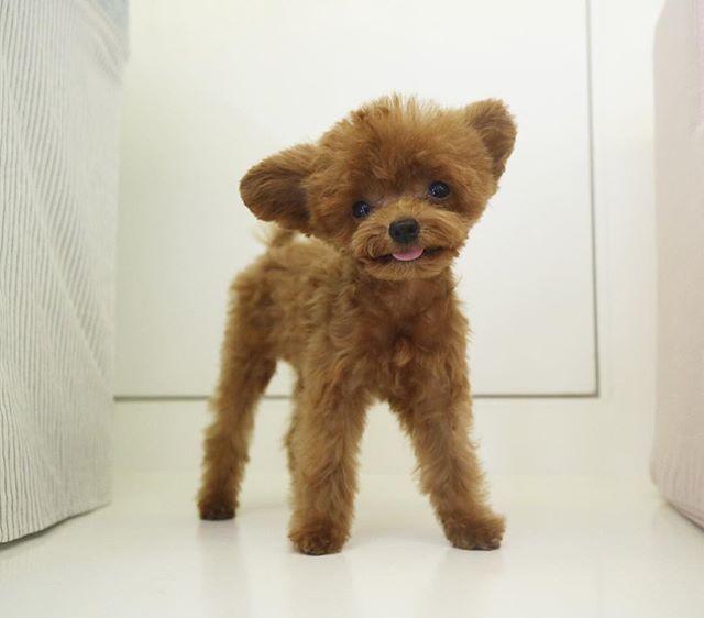 . 즐거운  토요일되세요 롱다리슈 Happy Saturday from SHU . SHU is tinysize toypoodle! No mix! Just poodle . . . #슈 #Shu #poodle #creampoodle #silverpoodle #apricotpoodle #toypoodle #푸들 #실버푸들 #애프리푸들 #토이푸들 #크림푸들