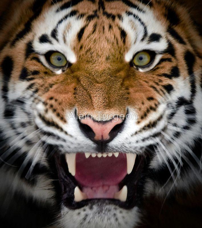 ~~Roar ~ Siberian Tiger by Alain Turgeon~~