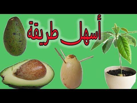 زراعة الافوكادو في المنزل من البذرة طريقة سهلة و ناجحة Avocado Youtube Fruit Pear