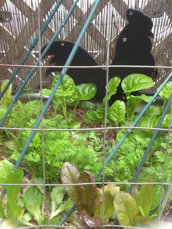 Black rooster no2 in veggie garden