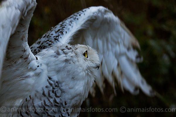 Coruja das Neves   Fotos de Aves Nocturnas - Foto 3098