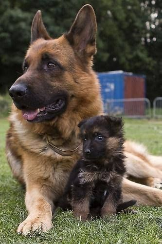 GSD mom and her puppy