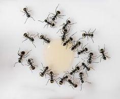 Se você também sofre com as formigas em sua cozinha, confira formas de evitar o aparecimento delas ou como exterminar de vez o problema!