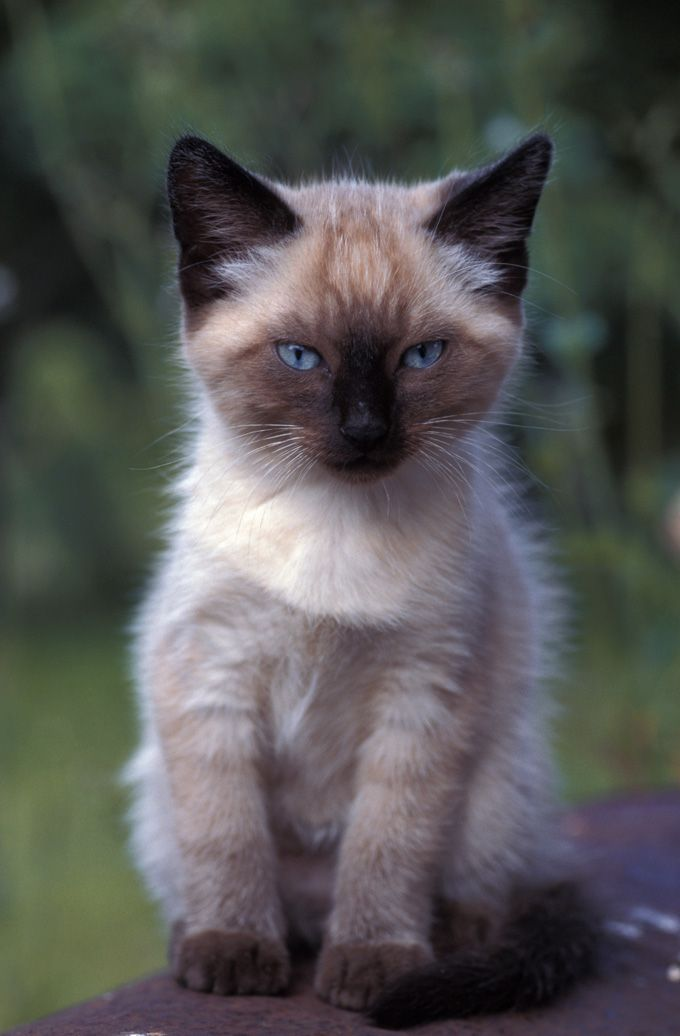 Best Siamese Cat Names Cattime Siamese Cats Cat Names Siamese