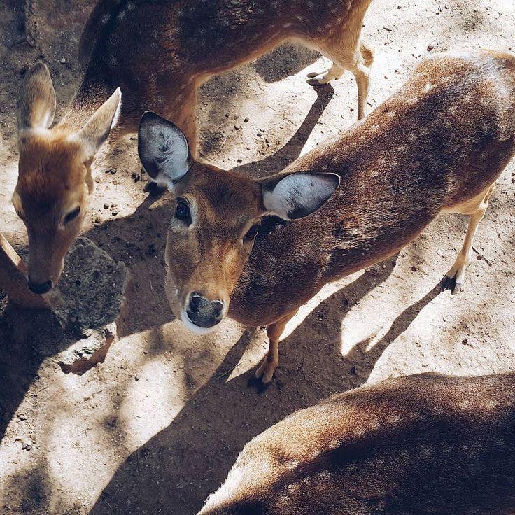 В центре селекции в Хуа-Хине они ходят без забора) Очень необычные ощущения. Тоже много фото было в блоге на сайтеесли интересно ) #julias_animals #julia_traveling_to_thailand  #passionpassport #backpacking #backpacker #backpackers #блогер #блоггер #photooftheweek #asia #travelblogger #travelbloggers #азия #инстаграмнедели #adventure #outdoors #natureaddict #nategeo #discovery#discoverychannel #thai #thailand#chiangmai  #таиланд#чиангмай #deer #deers #олень #ооени by julia_batirova