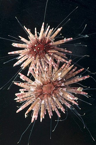 Handout picture of Pohls Sea Urchins found off Lizard Island in far north Queensland (© HO//Reuters)