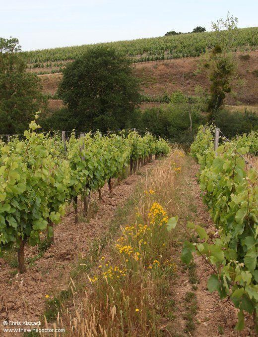 The Ogereau vines in Quarts de Chaume, those of Domaine des Baumard beyond, June 2017