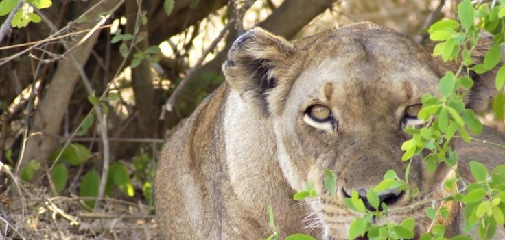 The Gorongosa Lion Project team just spotted Tripod, Gorongosa's famous 3-legged lioness. We're sure to hear more about this lady as their research unfolds…http:/on.fb.me/S46fzx