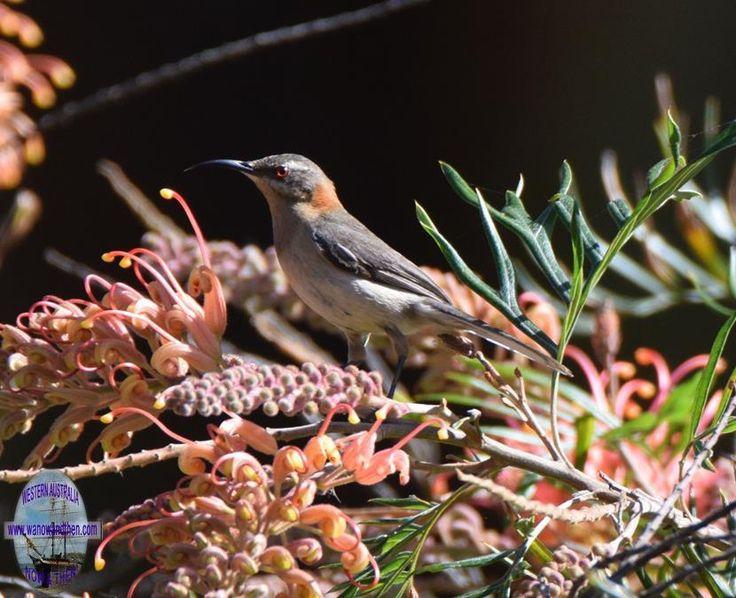 Western spinebill - BIRDS OF WESTERN AUSTRALIA | Western Australia | www.wanowandthen.com