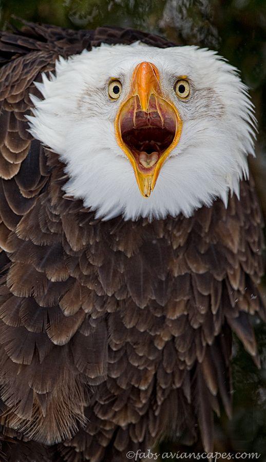 The Scream - Captive female Bald Eagle, Canadian Raptor Conservancy