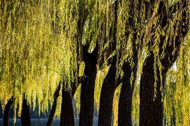 Willow Trees by Pai Shih  Invoking your spirit team.   Ancestors, beloveds, thank you