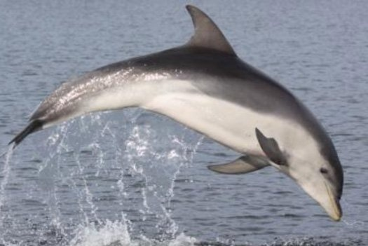 """The new dolphins, one of only three species of dolphins formally detailed since the 1800s, will be known officially as Tursiops australis, but their common name will be the Burrunan dolphin. Burrunan comes from a word in an Aboriginal Australian that means, oddly specifically, """"name of a large sea fish of the porpoise kind."""" One of the two known colonies of Burrunan dolphins is located in Port Philip Bay, where the Boonwurrung people have lived for over 1000 years."""