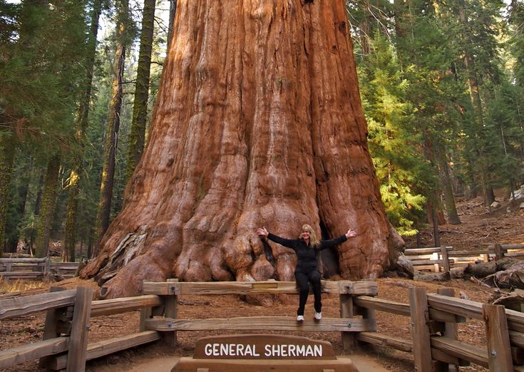 The General Sherman is a giant sequoia (Sequoiadendron giganteum) tree located…