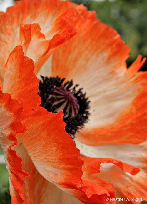 Oriental Poppy Red Orange